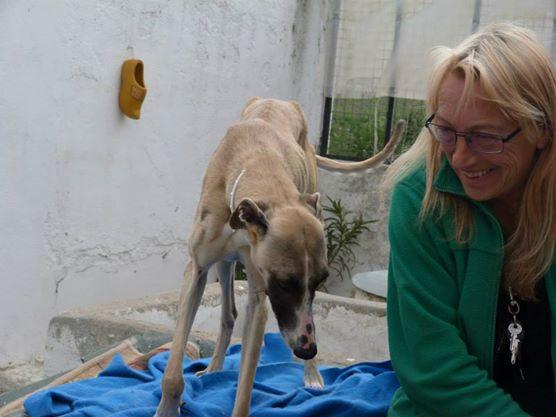 Perla , (squelettique) magnifique galga Scooby France   ADOPTEE  Perla_10