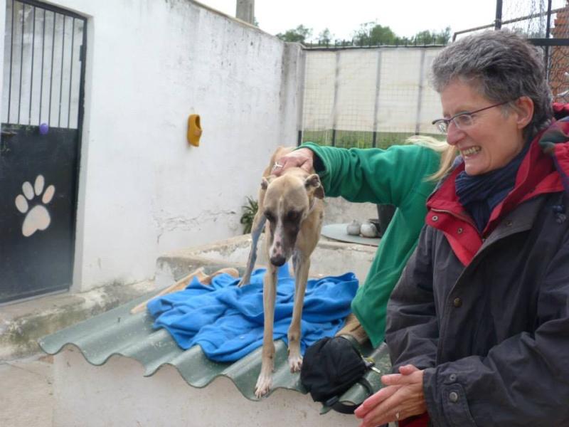 Perla , (squelettique) magnifique galga Scooby France   ADOPTEE  Perla_12