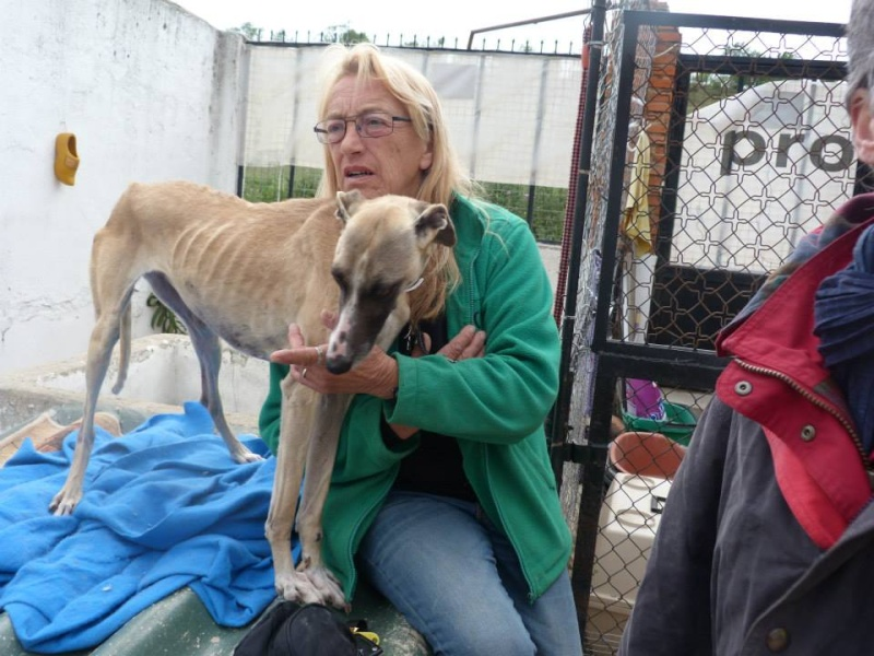 Perla , (squelettique) magnifique galga Scooby France   ADOPTEE  Perla_14