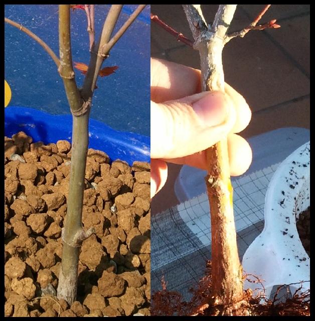 Plantones Arce Orange Dream y Arce Butterfly - Página 2 Arce_t10