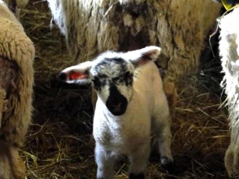 Moutons - Page 2 Lamm410