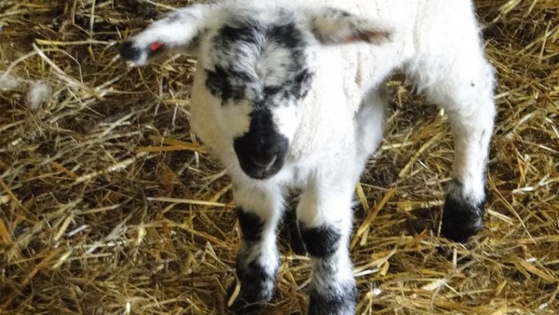 Moutons - Page 2 Lamm610