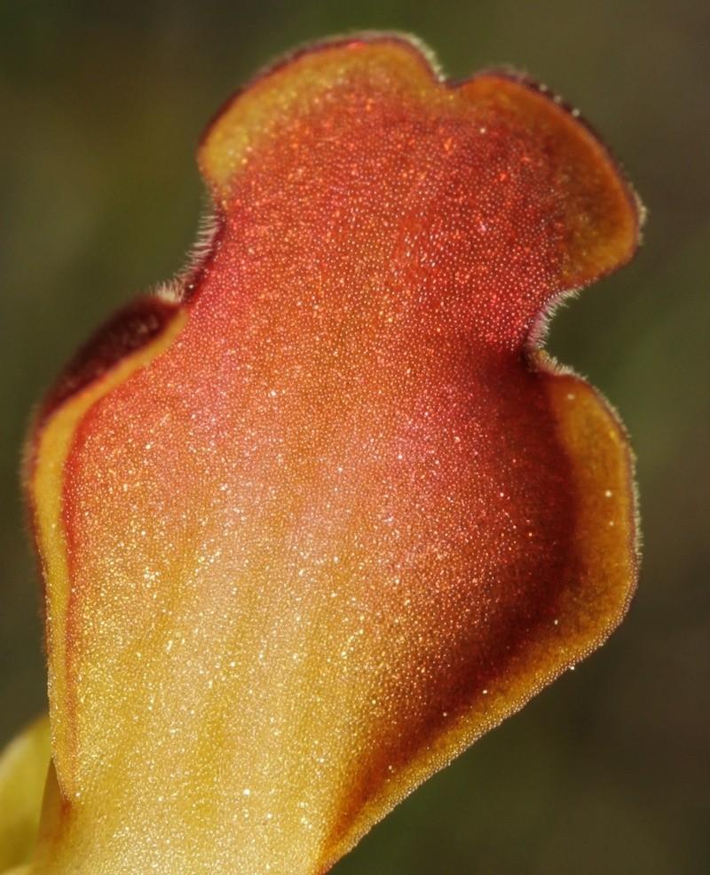 Les ophrys du groupe iricolor : coloration dessous labelle Elono10