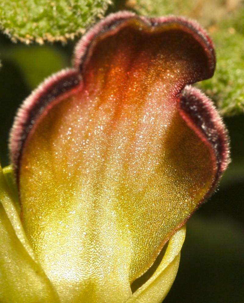 Les ophrys du groupe iricolor : coloration dessous labelle Iri10