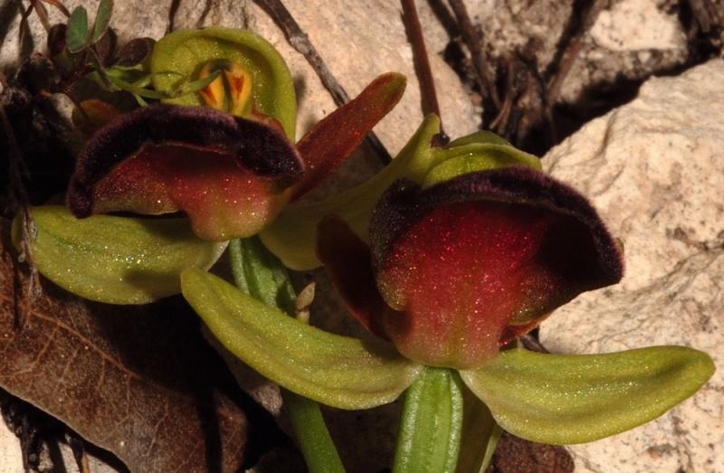 Les ophrys du groupe iricolor : coloration dessous labelle 49_iri10