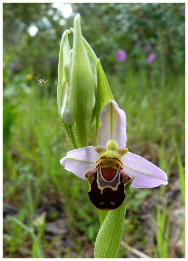 Andalousie et Algarve 2014. 5 Euophrys Api_p110