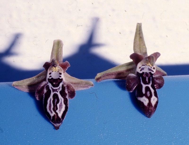 Cavité stigmatique d'un ophrys : largeur et hauteur Ariad_10