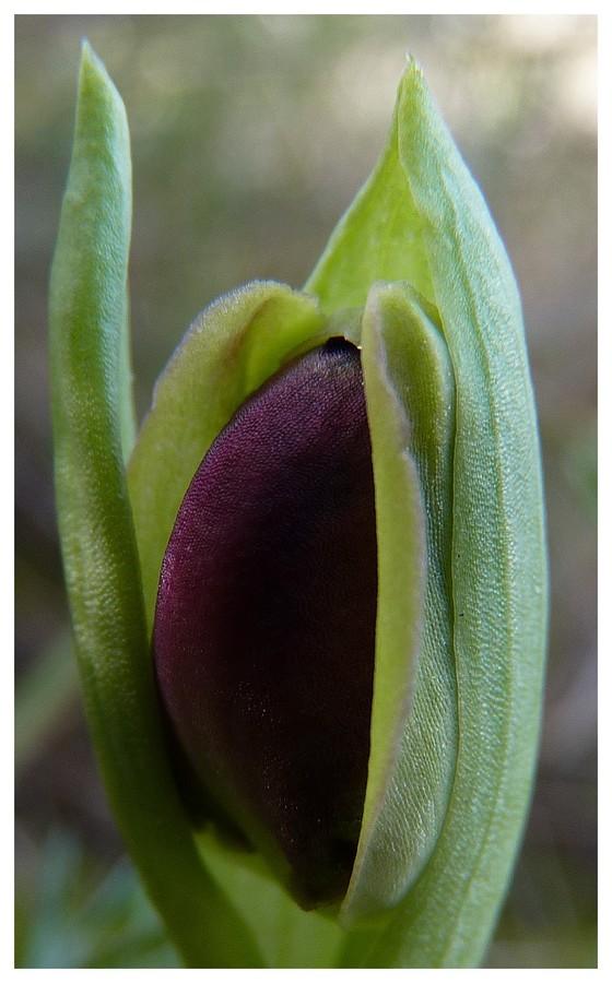 Andalousie et Algarve 2014. 5 Euophrys Atl_p110