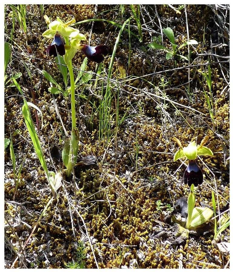 Andalousie et Algarve 2014. 5 Euophrys Atl_p111