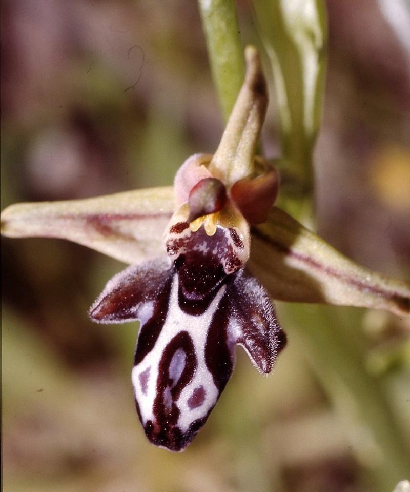 Cavité stigmatique d'un ophrys : largeur et hauteur Cornu_10