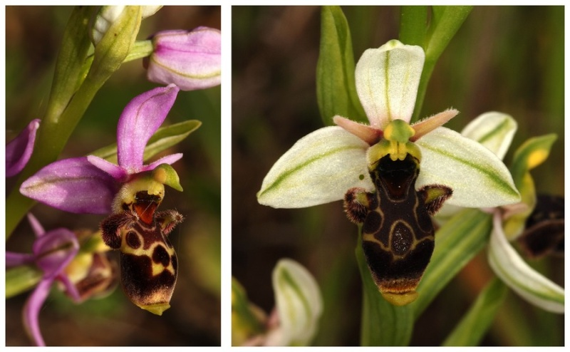 Andalousie et Algarve 2014. 5 Euophrys Picta_12