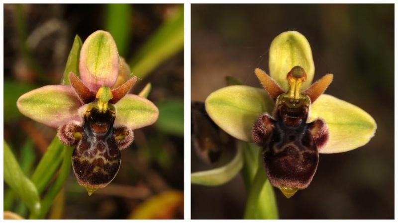 Andalousie et Algarve 2014. 5 Euophrys Picta_13