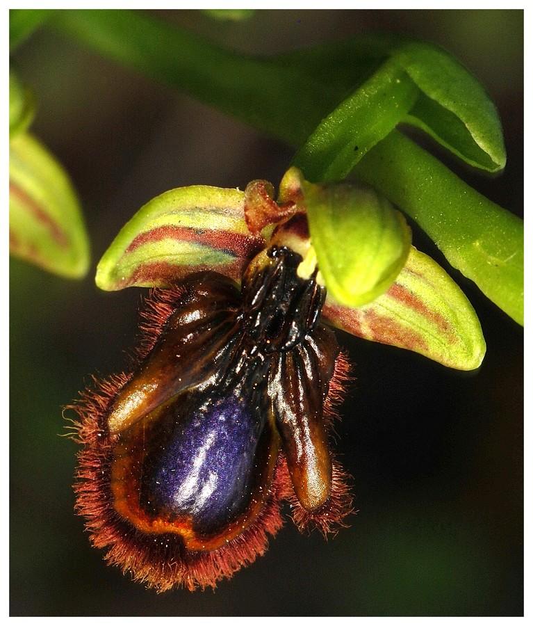 Andalousie et Algarve 2014. 5 Euophrys Spe_x_10