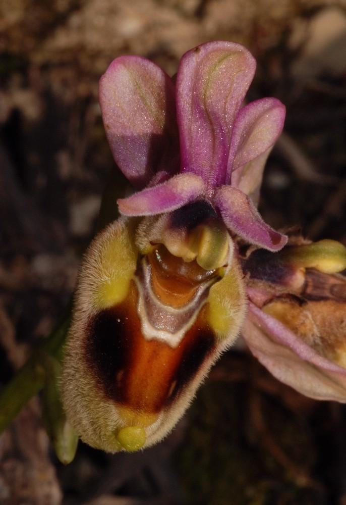 Ophrys tenthredinifera à l'Est Ten_0010