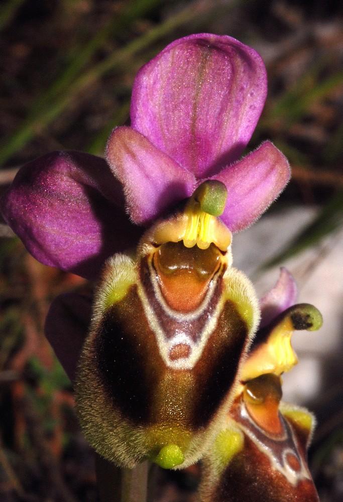 Ophrys tenthredinifera à l'Est Ten_0210
