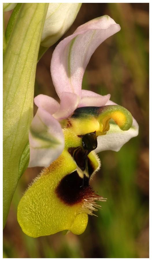 Andalousie et Algarve 2014. 5 Euophrys Ten_pr11