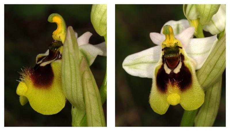 Andalousie et Algarve 2014. 5 Euophrys Ten_pr12