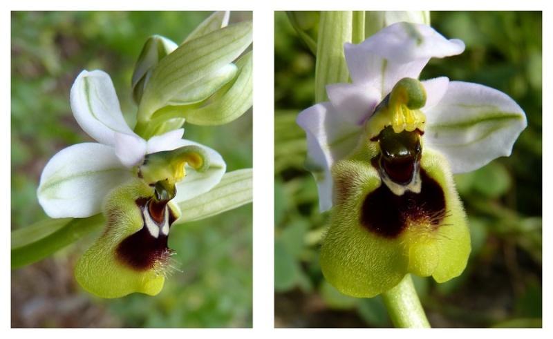 Andalousie et Algarve 2014. 5 Euophrys Ten_pr13
