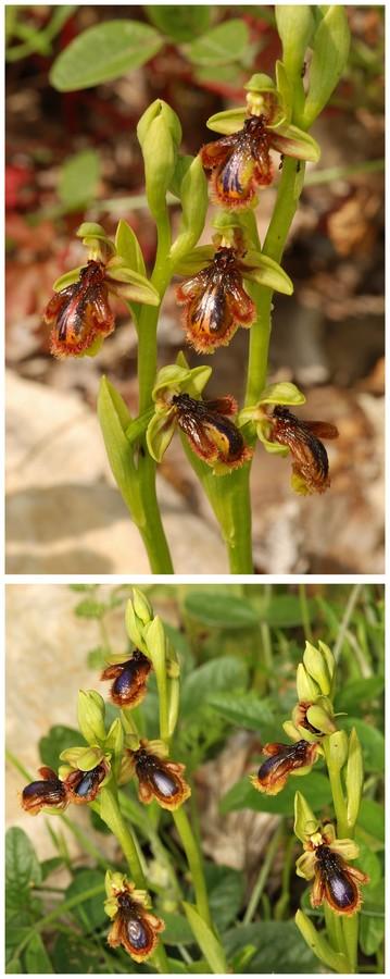 Andalousie et Algarve 2014. 5 Euophrys Ver_ds10
