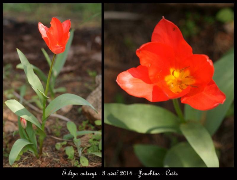 petit coucou de Crète Tulipa10