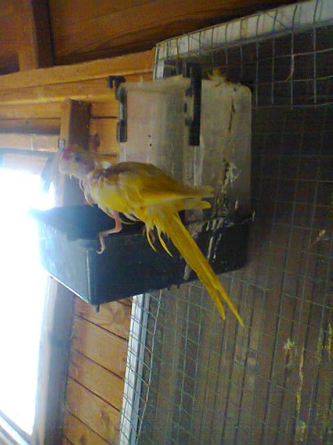 Ma première repro chez mes kakariki Photo023