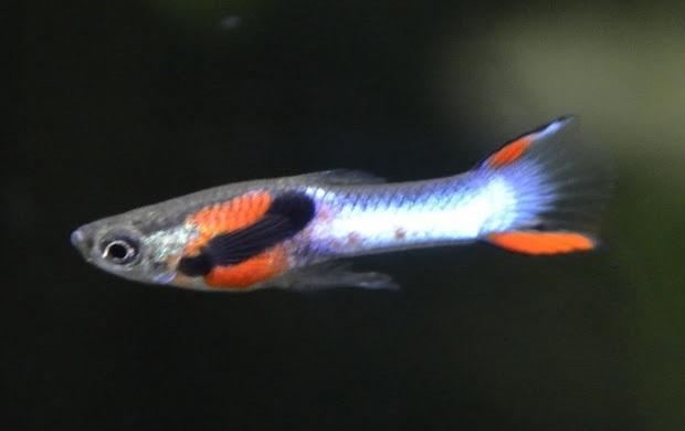 Males semble Endler hybride  Guuppp10