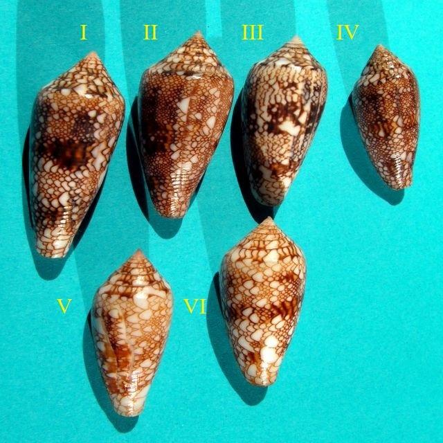 Conus tigrinus, textilinus, paniculus ???? Pict0010