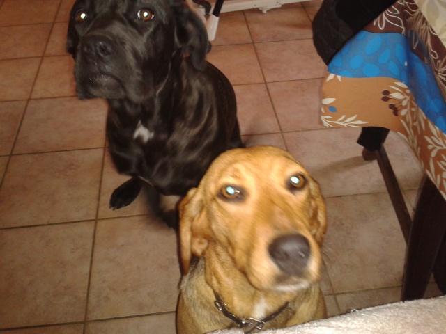 FICELLE - Femelle - X beagle - 4 ans  2014-034
