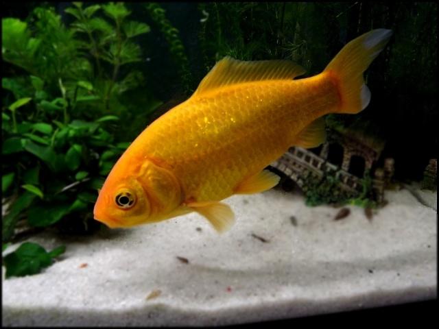 115 L poissons rouges Dscf3311