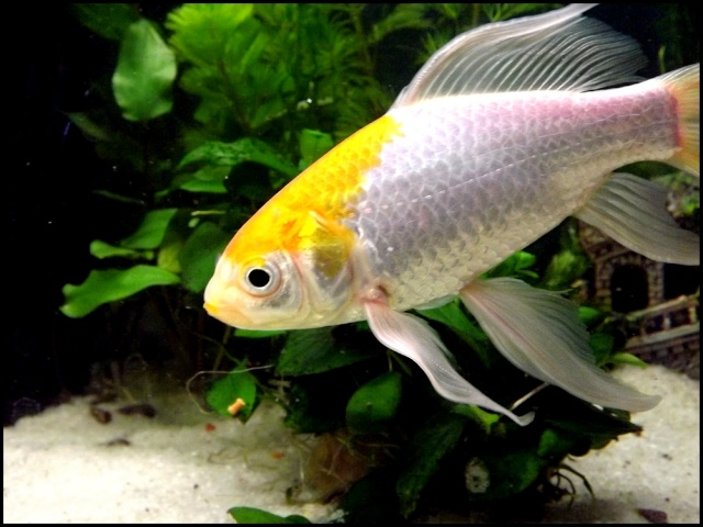 115 L poissons rouges Dscf3313