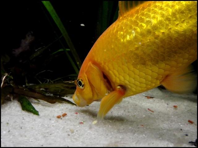 115 L poissons rouges Dscf3314