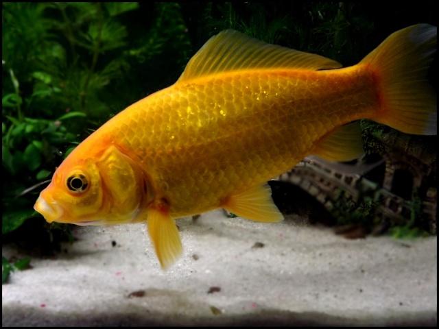 115 L poissons rouges Dscf3315