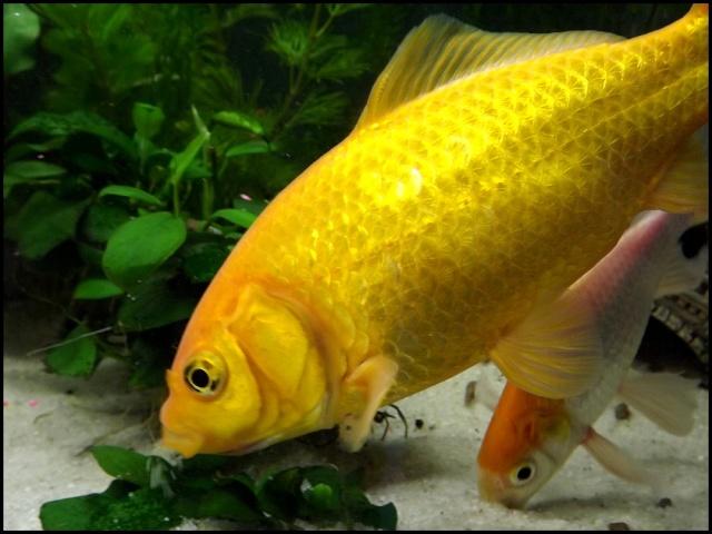115 L poissons rouges Dscf3410