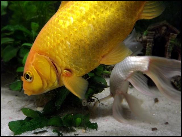 115 L poissons rouges Dscf3411