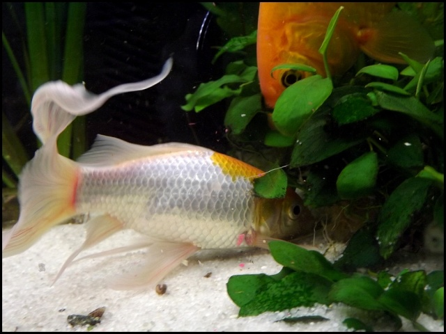 115 L poissons rouges Dscf3412