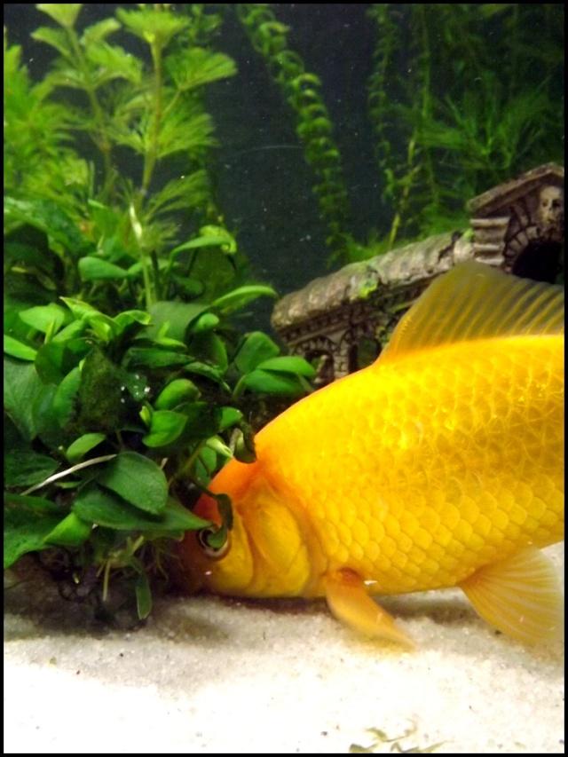 115 L poissons rouges Dscf3414