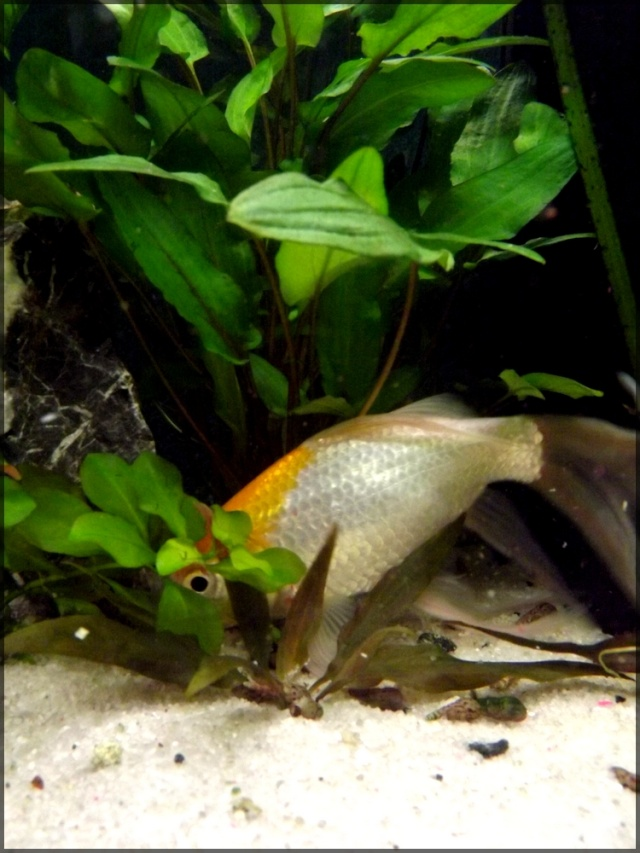 115 L poissons rouges Dscf3416