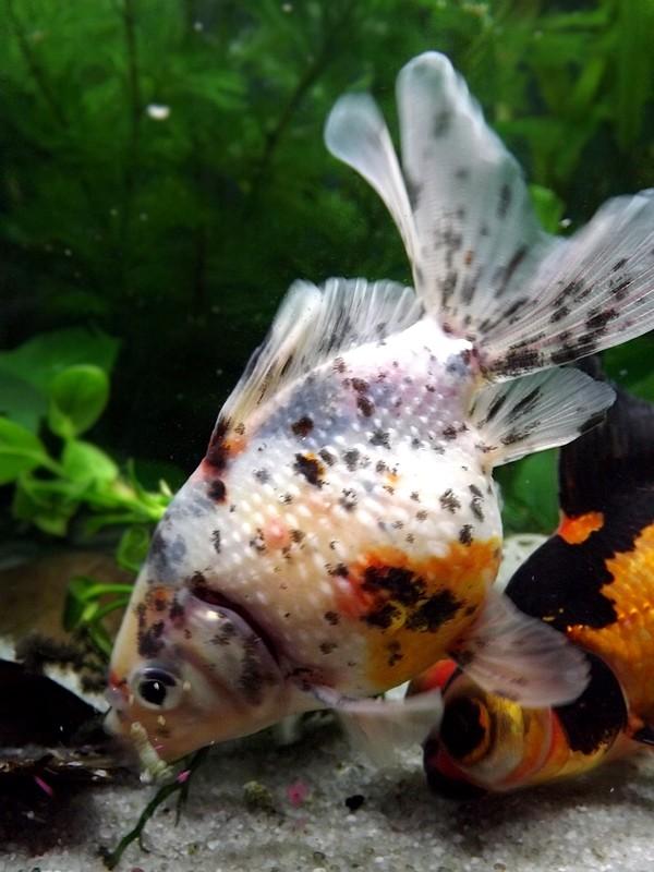 115 L poissons japonais Dscf3613
