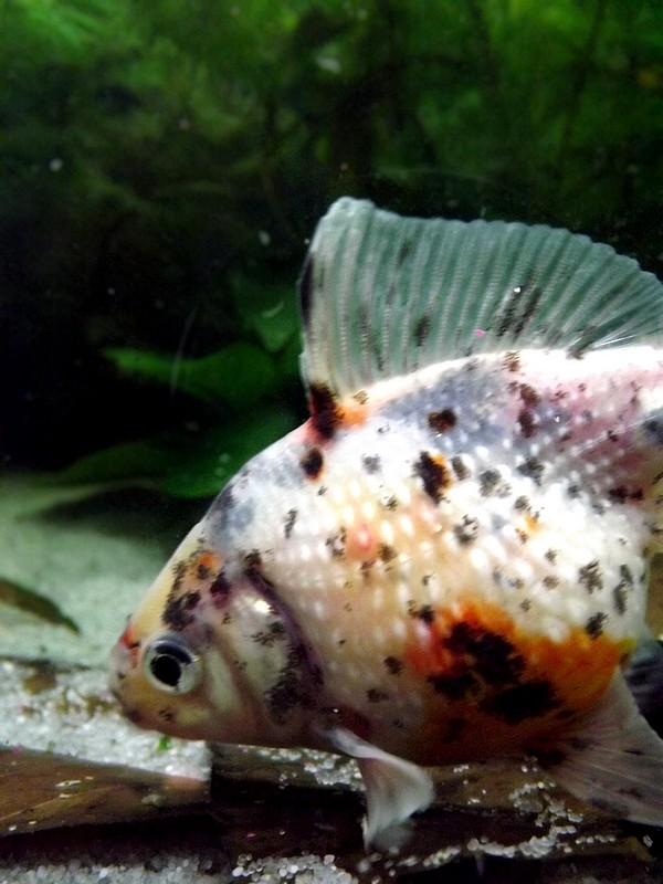 115 L poissons japonais Dscf3614