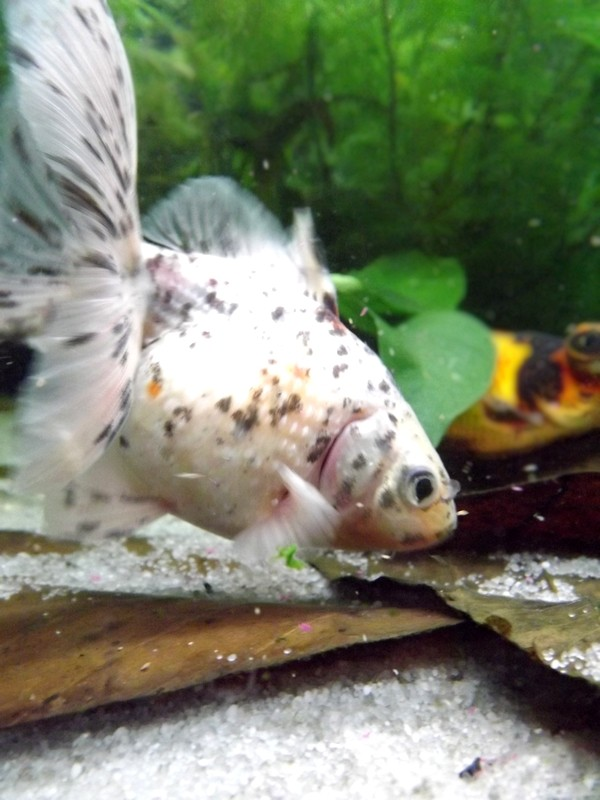 115 L poissons japonais Dscf3615
