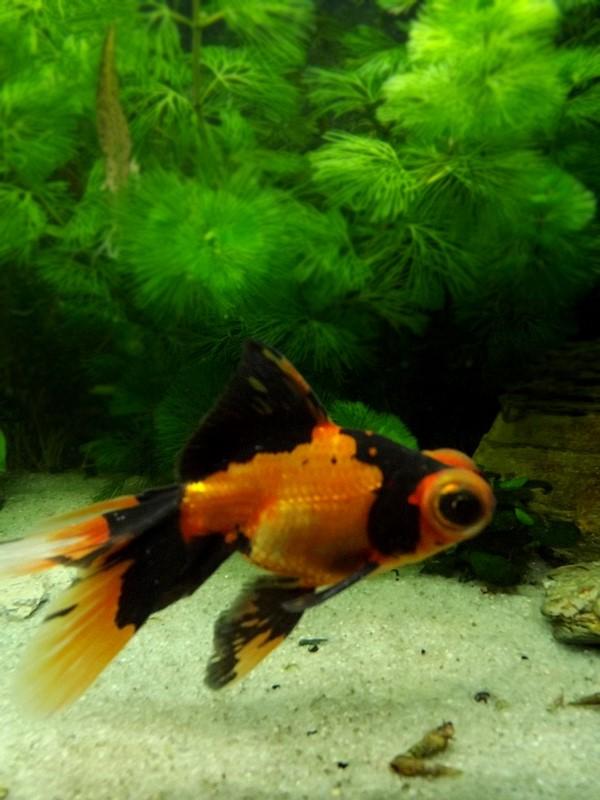115 L poissons japonais Dscf3616