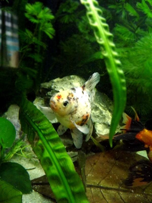 115 L poissons japonais Dscf3617