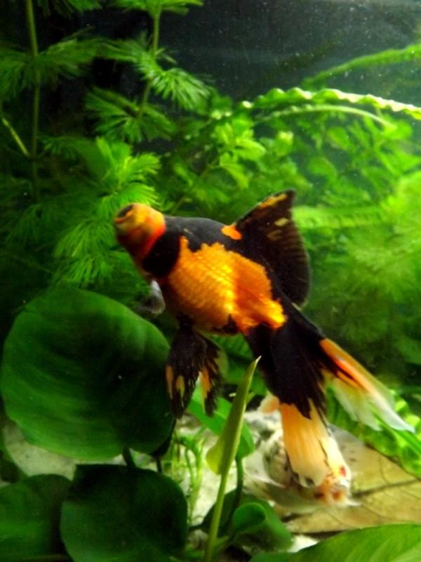 115 L poissons japonais Dscf3618