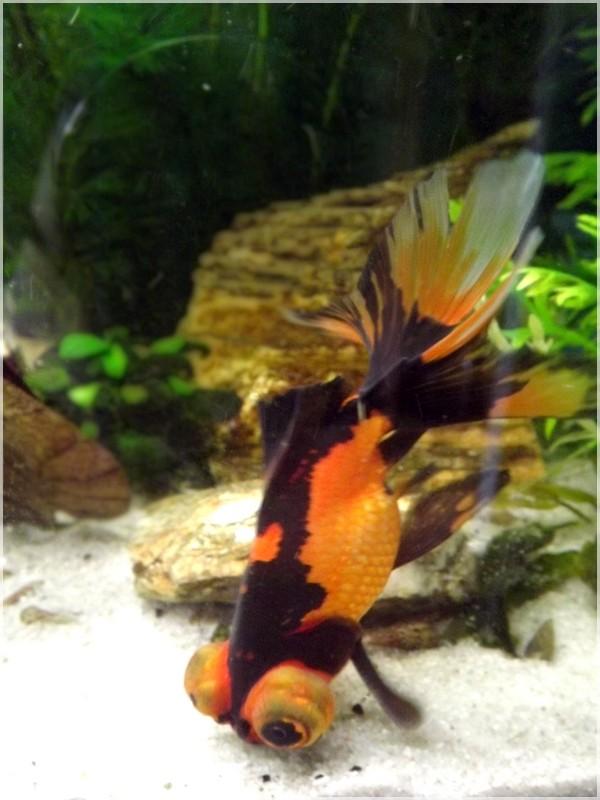 115 L poissons japonais Dscf3620