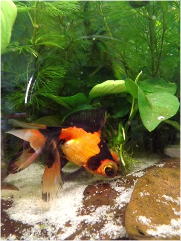 115 L poissons japonais Dscf3710
