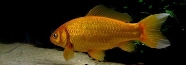 115 L poissons rouges Sans_t10