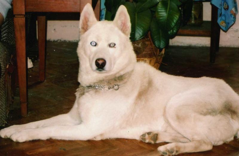 un husky blanc aux yeux bleu nommé GOLIATH Famill10
