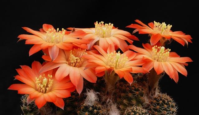Sulcorebutia verticillacantha 2210