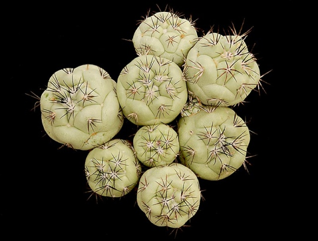 Ortegocactus macdougallii 2511