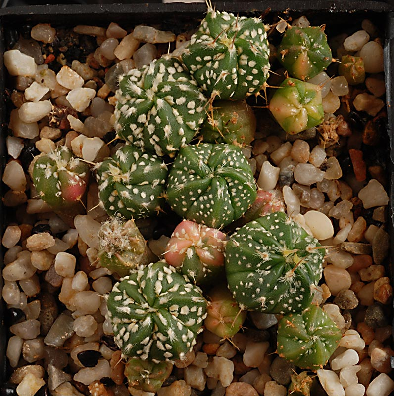 Astrophytum asterias coahuilense variegata  4210